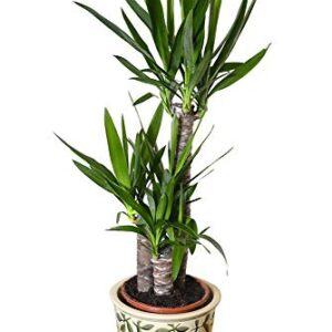 Indoor Plant -House or Office Plant -Yucca elephantipes - Spineless Yucca 80cms Tall
