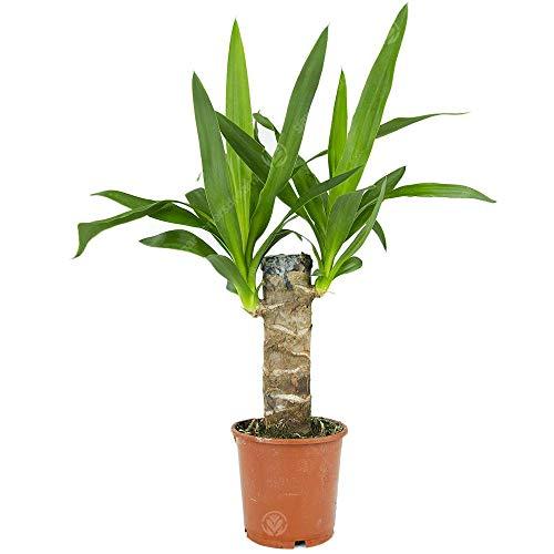 Yucca Elephantipes Spinless Yucca Live Indoor Decorative Houseplant in 12cm Pot