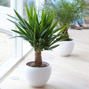 Yucca Elephantipes Plant - Live Premium Evergreen Indoor Houseplant in 12cm Pot