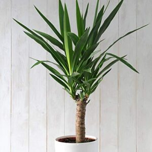 Large Yucca House Plant Easy to Grow and Undemanding Spineless Yucca, Long Lasting, 1 x Yucca Elephantipes Plant in a 17cm Pot by Thompson and Morgan