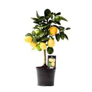 Fake Lemon Tree