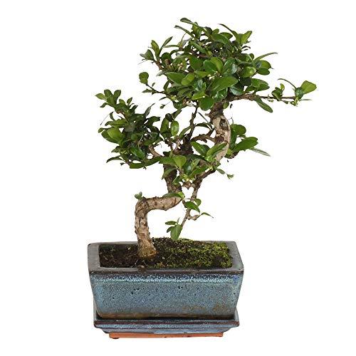 Carmona microphylla S-Shape | Bonsai incl. Decorative Pot | Little Bonsai Tree | Evergreen Carmona | Height 20-25cm | Pot Ø 15 x 8 cm