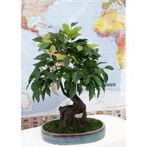Ligne Déco | Artificial Bonsai Tree in Oval Ceramic Pot Blue 249 Leaves | 41 cm | Artificial Green Plant | Japanese Zen Bonsai | Home Office Decoration